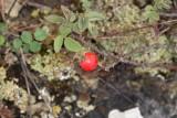 Hartsros (Rosa villosa ssp. mollis)