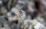 Mindre spetsnäsa (Aelia acuminata)