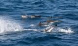 Strimmig delfin (Stenella coeruleoalba)