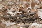 Red-necked Nightjar (Caprimulgus ruficollis)