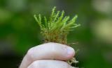 Gräshakmossa (Rhytidiadelphus squarrosus)