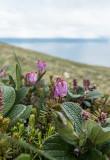 Lappljung (Phyllodoce caerulea)
