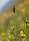 Fjällvårbrodd (Anthoxanthum alpinum)