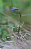Fjällklocka (Campanula uniflora)