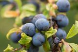 Slån (Prunus spinosa)