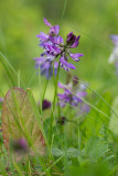 Mörk fjällvedel (Astragalus alpinus ssp. arcticus)