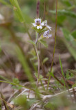 Fjällögontröst (Euphrasia frigida)