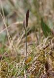 Fjällhavre (Trisetum spicatum)