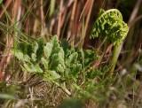 Höstlåsbräken (Botrychium multifidum)