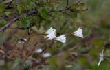 Fjällarv (Cerastium alpinum)