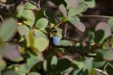 Odon (Vaccinium uliginosum)