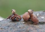 Dvärgjordstjärna (Geastrum schmidelii)