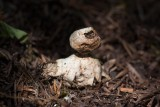 Liten jordstjärna (Geastrum granulosum)