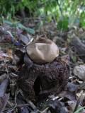 Kragjordstjärna (Geastrum michelianum)