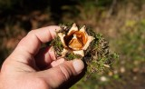 Kamjordstjärna (Geastrum pectinatum)