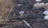 Siberian Accentor (Prunella montanella)
