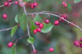 Przewalskioxbär (Cotoneaster przewalskii)