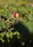 Hjortron (Rubus chamaemorus)