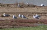 Audouin´s Gull (Ichthyaetus audouinii)