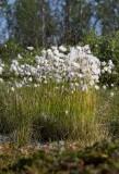 Polarull (Eriophorum scheuchzeri)