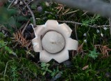 Fransig jordstjärna (Geastrum fimbriatum)