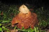 Rödbrun jordstjärna (Geastrum rufescens)