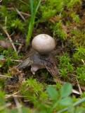 Stäppjordstjärna (Geastrum pseudolimbatum)