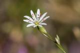Grässtjärnblomma (Stellaria graminea)