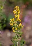 Gulmåra (Galium verum)