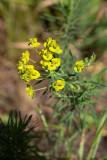 Vårtörel (Euphorbia cyparissias)
