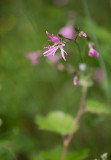 Gökblomster (Lychnis flos-cuculi)