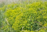 Vargtörel (Euphorbia esula)