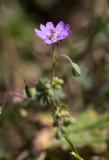 Mjuknäva (Geranium molle)
