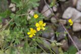Sydsmörblomma (Ranunculus sardous)