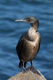Brandt´s Cormorant (Phalacrocorax penicillatus)