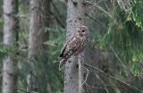 Ural Owl (Strix uralensis)