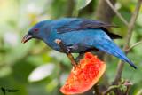 Irenidae - Fairy Bluebirs