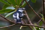 Campephagidae - Cuckooshrikes