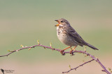 Emberizidae - Buntings, New World Sparrows & Allies