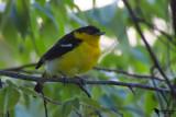 Aegithinidae - Ioras