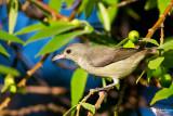 Dicaeidae - Flowerpeckers