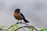 Thraupidae-Tanagers and Allies