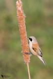 Remizidae - Penduline-tits