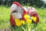 Layla my greenwing macaw baby