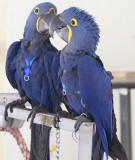 Bono & King Hyacint macaws
