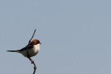 Lanius senator - Woodchat Shrike