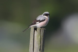 Lanius minor - Lesser Grey Shrike