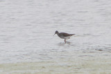 Trings flavipes - Lesser Yellowlegs