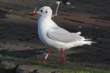 Black-headed Gull W[LBP]