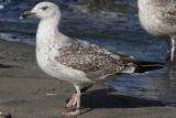 Great Black-backed Gull Bk[JY481]